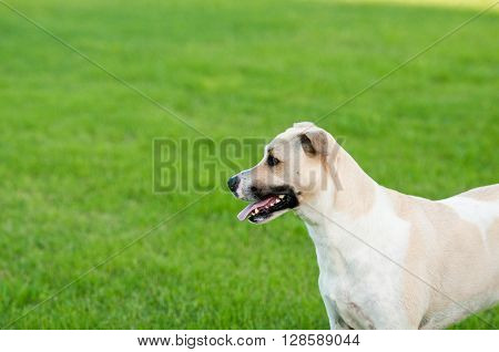 Large white and tan dog outdoors with green grass background.