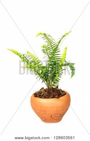 Sword Fern or Fishbone Fern in flower pot on the white background