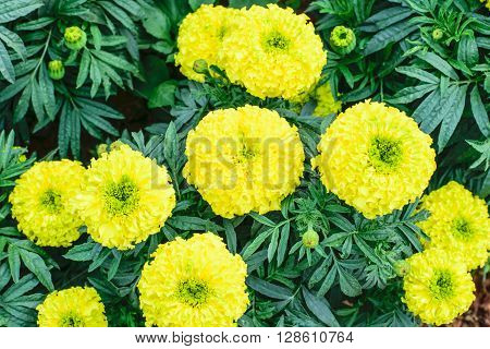Yellow Marigolds flower (Tagetes erecta Mexican marigold Aztec marigold African marigold)