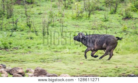 Specie Syncerus caffer family of bovidae, wild buffalo runing in green savannah
