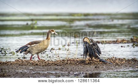 Specie Anhinga rufa family of Anhingidae, egyptian goose in the riverbank, Kruger, South Africa