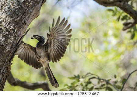 Specie Tockus nasutus family of Bucerotidae, african grey hornbill flying and nesting in South Africa