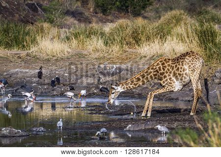 Specie Giraffa camelopardalis family of Giraffidae, wild giraffe drinking on a pond, Kruger Park, South Africa