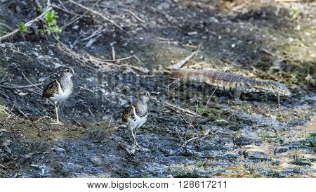 Specie Rostratula benghalensis family of Rostratulidae,  greater painted-snipe in Kruger Park