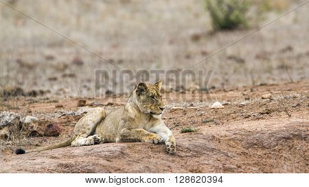 Specie Panthera leo family of felidae, lioness having a nap in the bush, Kruger park