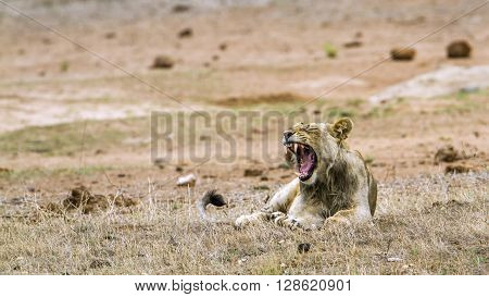 Specie Panthera leo family of felidae, lion yawning in the bush, Kruger Park, South Africa