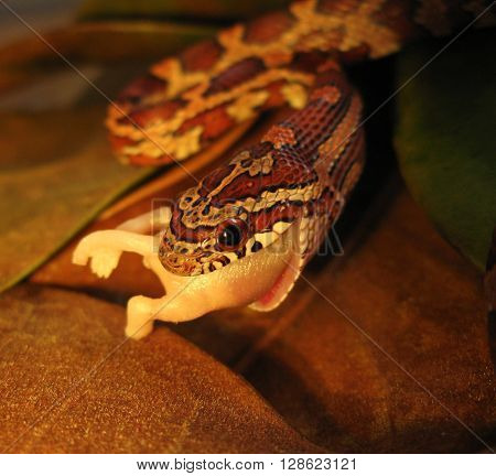 Young corn snake swallows a pinkie mouse whole.