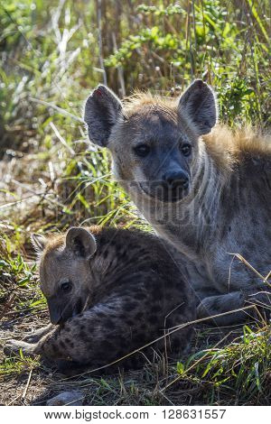 Specie Crocuta crocuta family of Hyaenidae, family of spotted hyaena in Kruger Park