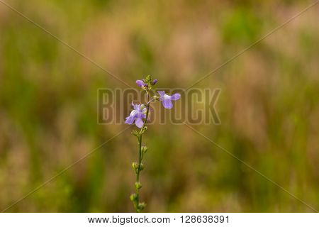 Closeup photo of Blue Toadflax flower