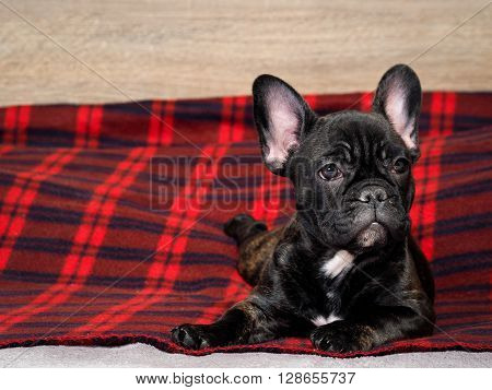 Dog lying on a red rug. portrait of a dog. Dog black French bulldog. Young pup