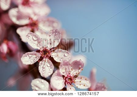 Beautiful fresh and young pink flowers of cherry in dew drops over blue sky. Macro. Beauty and moisturising concept.