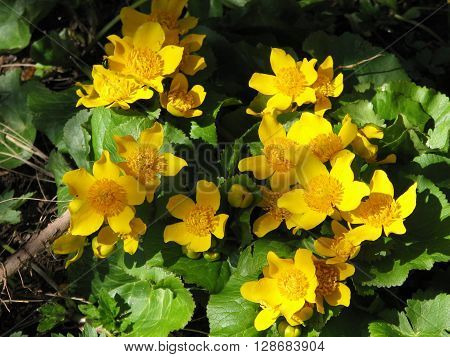 Blooming buttercups bloom in spring at water