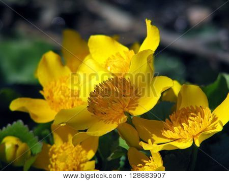 Blooming buttercups bloom in spring at water ** Note: Visible grain at 100%, best at smaller sizes