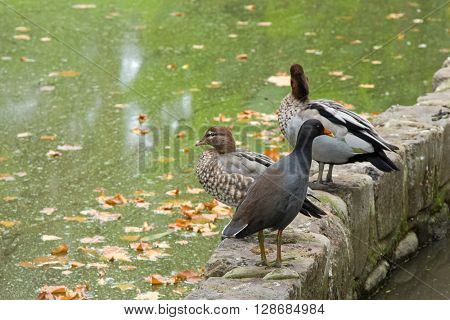 Dusky Moorhen bird with yellow-tipped red bill standing in front of female and male Australian wood ducks (Chenonetta jubata) on the border or green pond during Autumn in Melbourne, Australia
