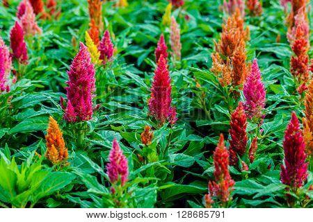 Beautiful  celosia flowers background in flower garden