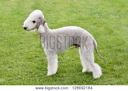 Typical Bedlington Terrier in the spring garden
