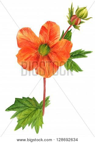 A watercolor drawing of a bright orange avens flower (Geum Coccineum 'Cooky' rose family) hand painted in watercolor in the style of vintage botanical art poster
