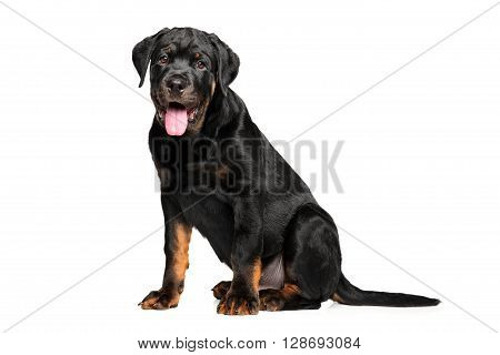 Young Rottweiler sits on  a white background