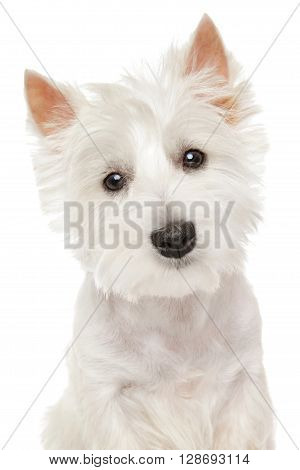 Highland Terrier (westie) On White Background