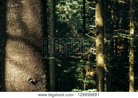 Sunlight In Amazing Green Forest With Pines And Moss In The Mountains