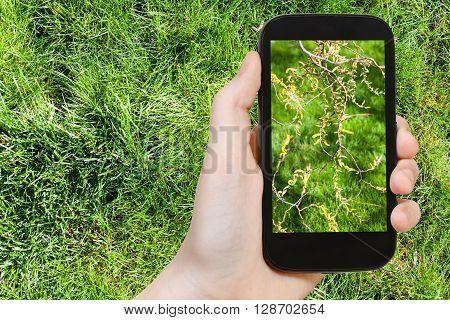 Farmer Photographs Flowering Catkins Of Salix Tree