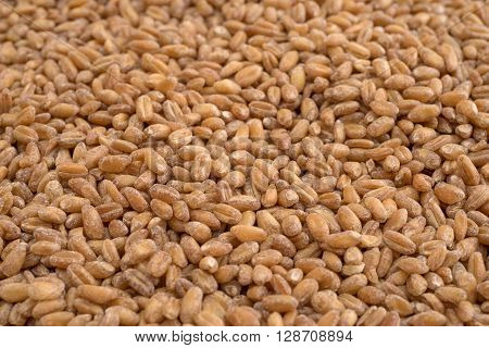 A close view of red winter wheat berries.