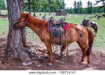 Saddled Mongolian horses waiting for riders in khovsgol national park northern Mongolia. poster