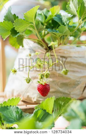 One Fresh Red Strawberry In The Farm