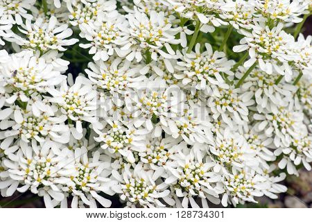 A lot of Iberis sempervirens Snowflake flowers as background