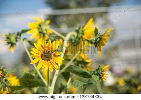 Young Sunflower With Petal And Sunlight
