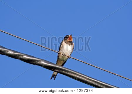 the young swallow singing a song on electric wires poster
