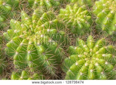 Various cactus plants;Green Cactus closeup. Green San Pedro Cactus thorny fast gro
