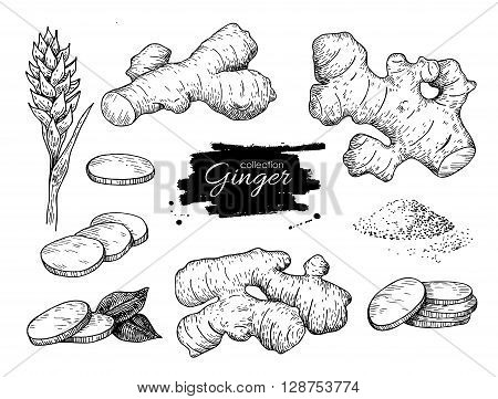Vector hand drawn Ginger set. Root ginger pieces and flower. Engraved style illustration. Herbal spice. Detox food ingredient.