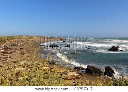 Elephant seals on a beach in San Simeon, California