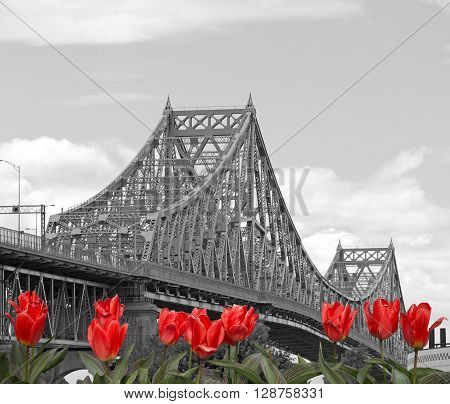 Jacques-Cartier Bridge with red tulips  in Montreal, Canada
