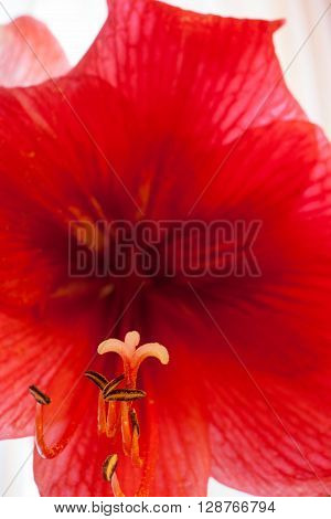 Closeup of a red Amaryllis flower with five stamens and a pistil