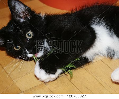 Black and white kitten lying on the parquet floor and chewing a sprig of dill