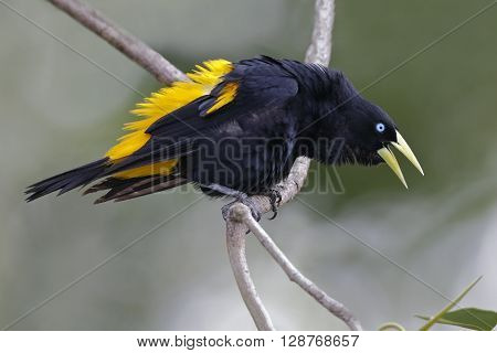 Male Yellow-rumped Cacique Calling - Panama