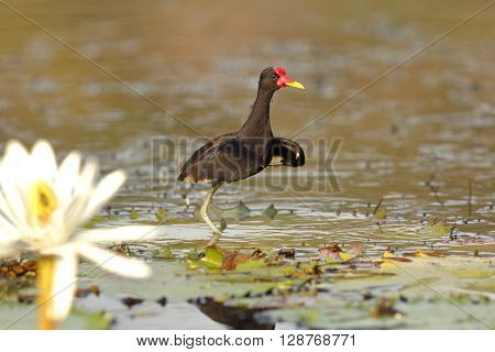 Wattled Jacana (Jacana jacana) with a Water Lily in the Foreground - Panama poster