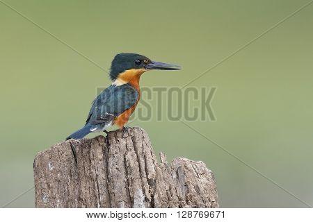 American Pygmy Kingfisher Perched On A Stump - Panama