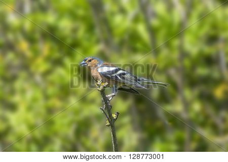 Male chaffinch perched on a branch in the trees