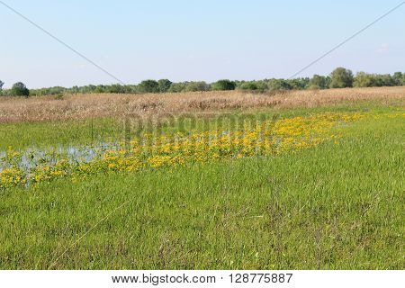 Wet meadow with yellow marsh marigolds. Spring landscape