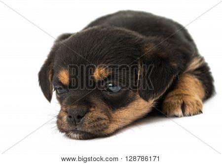 puppy isolated on white background, weenie, whelp, white,