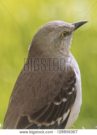 Close up of Northern Mockingbird state bird of Florida Texas Arkansas Tennessee South Carolina Mississippi