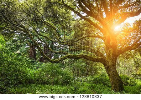 Beautiful Tree In A Dense Forest With The Sun Makes Its Way Through The Branches.