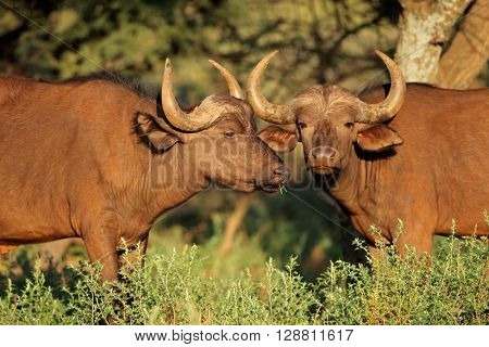 African or Cape buffaloes (Syncerus caffer) in natural habitat, South Africa