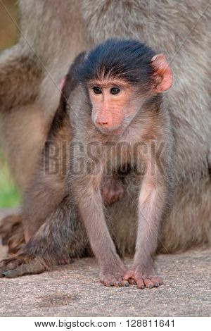 Cute baby chacma baboon (Papio hamadryas) with its mother, South Africa