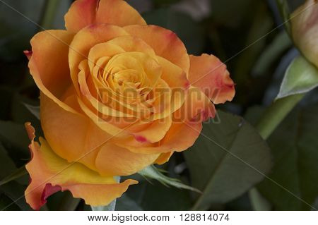 An orange rose in a detailed macro shot.