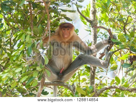 A proboscis monkey sit at shaded area to avoid from hot sun at mangrove forest in Sandakan Sabah Malaysia.