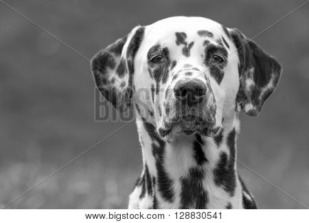 Dalmatian dog Puppy Head On in Black and White against a grey Background